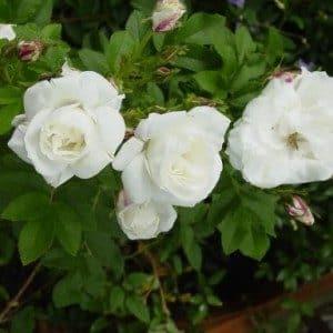 rosa-marie-bugnet-rosier-marie-bugnet-300×300