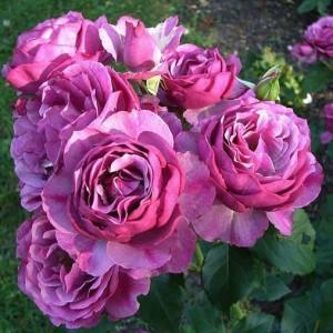 rosa-melody-parfum-rosier-melody-parfum.jpg