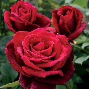 rosa-mister-lincoln-rosier-mister-lincoln-300×300