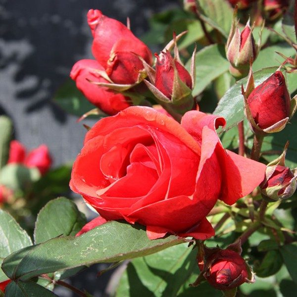 rosa-morden-fireglow-rosier-morden-fireglow-600×600