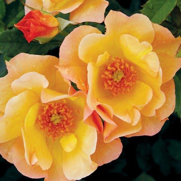rosa-morden-sunrise-rosier-morden-sunrise-600×600