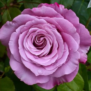 rosa-neptune-rosier-neptune.jpg