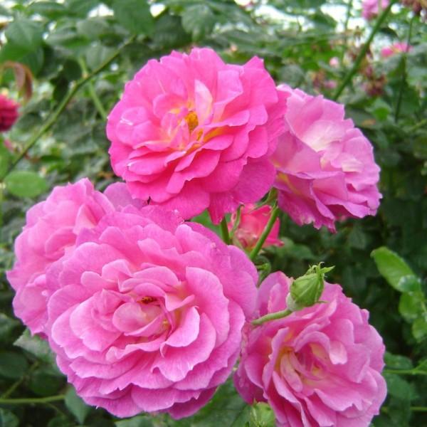 rosa-outta-the-blue-rosier-outta-the-blue.jpg