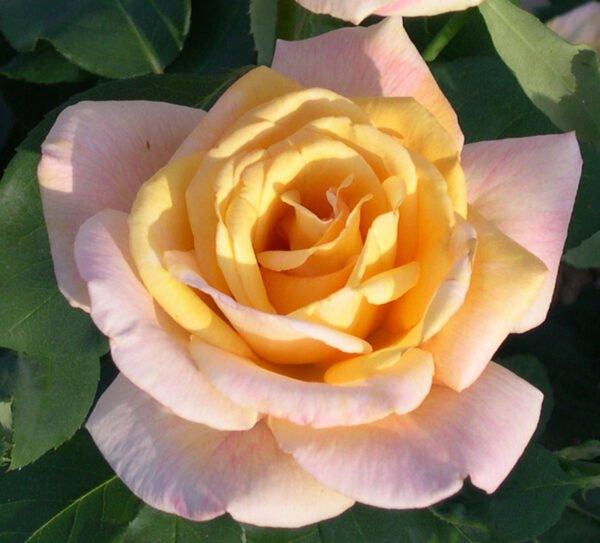 rosa-peace-rosier-peace.jpg