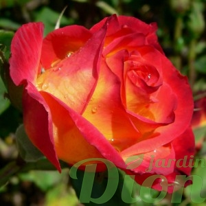 rosa-perfect-moment-rosier-perfect-moment.jpg