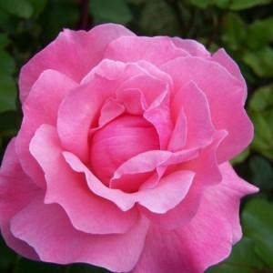 rosa-queen-elizabeth-rosier-queen-elisabeth.jpg