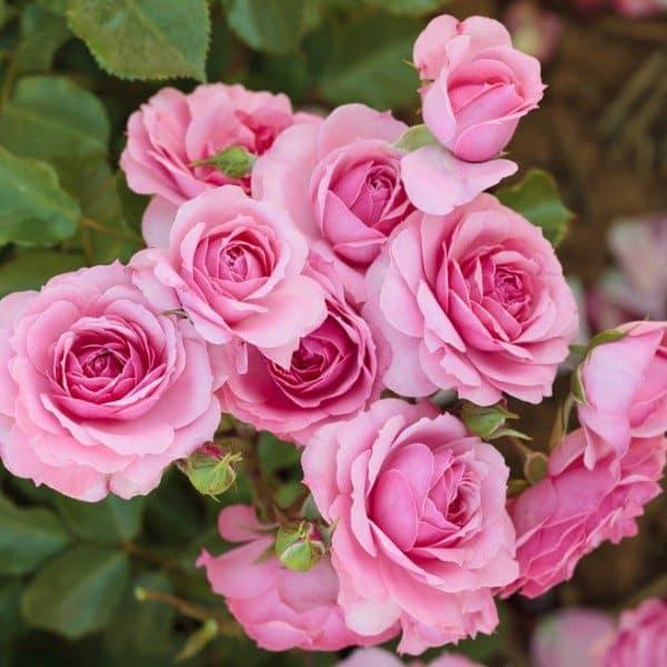 rosa-royal-bonica-rosier-royal-bonica-600×600