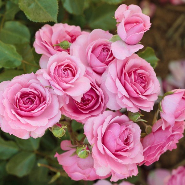 rosa-royal-bonica-rosier-royal-bonica.jpg