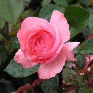 rosa-sexy-rexy-rosier-sexy-rexy.jpg