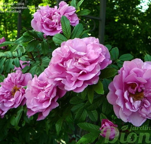rosa-therese-bugnet-rosier-therese-bugnet.jpg