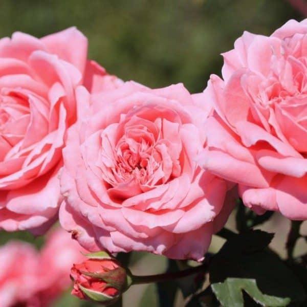 rosa-tootie-rosier-tootie-600×600