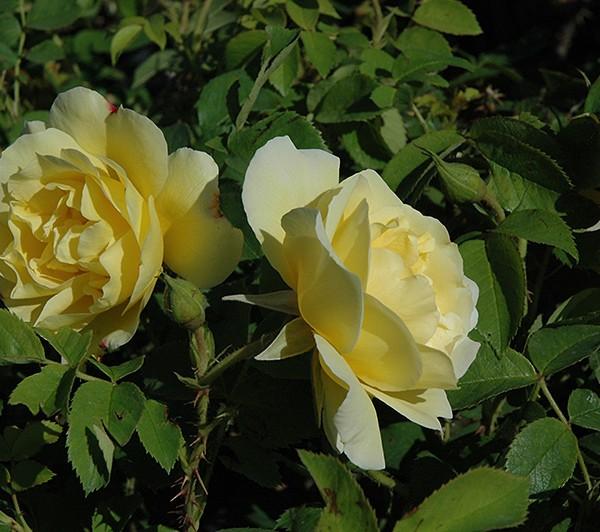 rosa-topaz-jewel-rosier-topaz-jewel.jpg