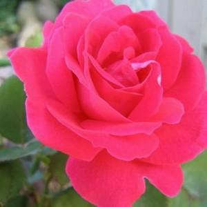 rosa-winnipeg-parks-rosier-winnipeg-parks.jpg
