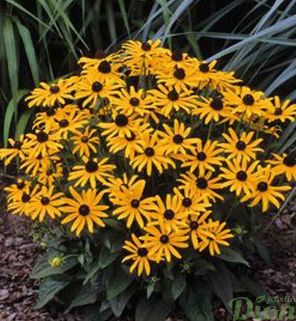 rudbeckia-little-goldstar.jpg