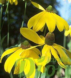 rudbeckia-n.herbstsonne.jpg