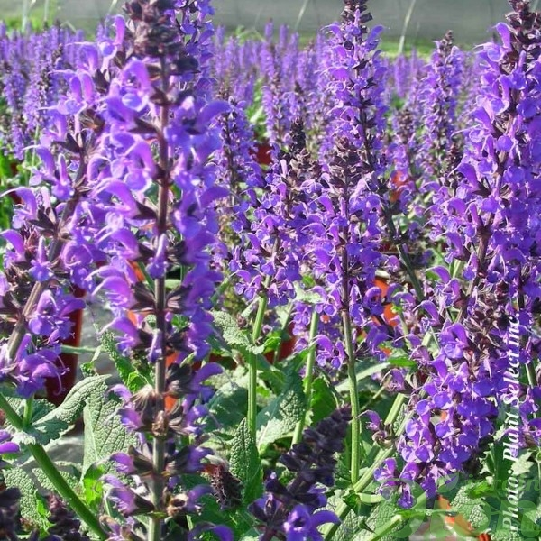 salvia-s.may-night.jpg