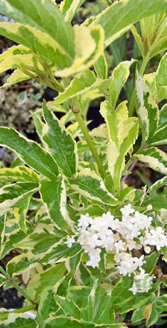 sambucus-racemosa-madonna-sureau.jpg