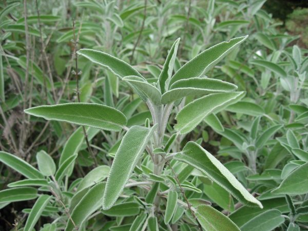 sauge-officinale.jpg