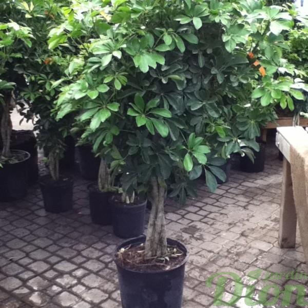 schefflera-arboricola-arbre-ombrelle.JPG