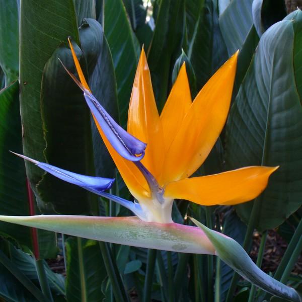 strelitzia-reginae-oiseaux-du-paradis.jpg