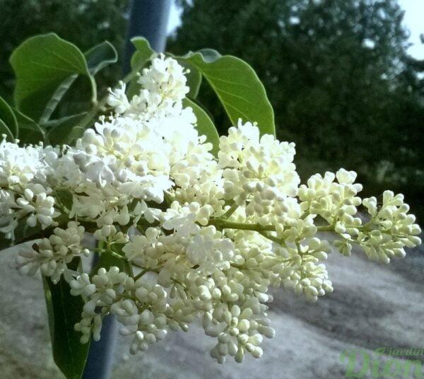syringa-reticulata-ivory silk-lilas japonais-fleur