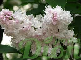 syringa-vulgaris-lilas commun-lilas francais-beauté de moscou-beauty of moscow-krasavitsa moskvy-blanc rose-lilas a fleur double