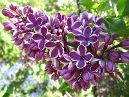 syringa-vulgaris-sensation-lilas-bicolor.png