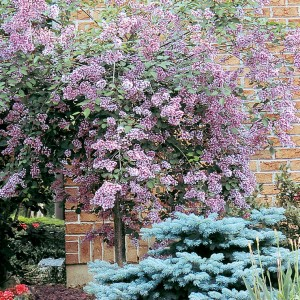 syringa.juliana-hers.lilas_.juliana-hers.jpg