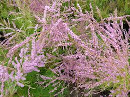 tamarix-ramosissima-pink-cascade.png