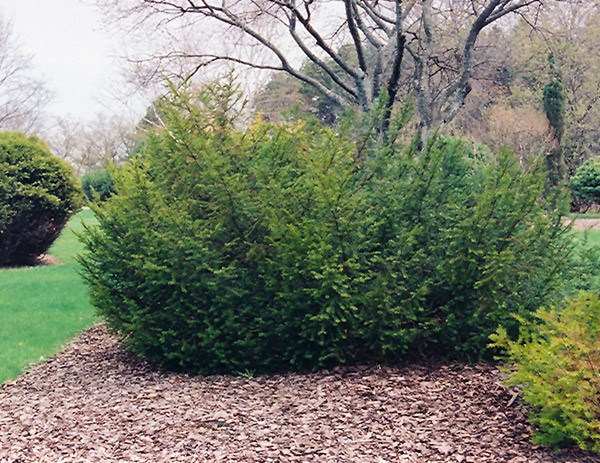 taxus-canadensis-if-du-canada.jpg