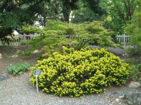 taxus-cuspidata-aurescens-nana-if-aurescens-nain.jpg
