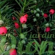 Fruits (arilles) apparaissanta en automne, potentiellement toxiques