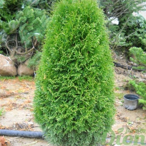 thuja-occidentalis-cedre-boisbriand.jpg