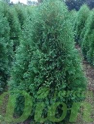 thuja.occidentalis-nigra-cedre-noir.jpg
