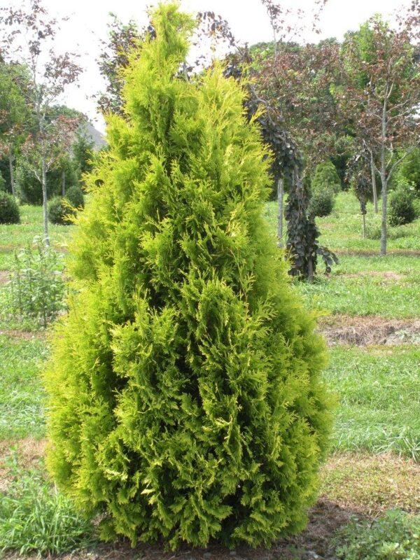 thuja.occidentalis-yellow-ribbon-cedre-yellow-ribbon-768×1024