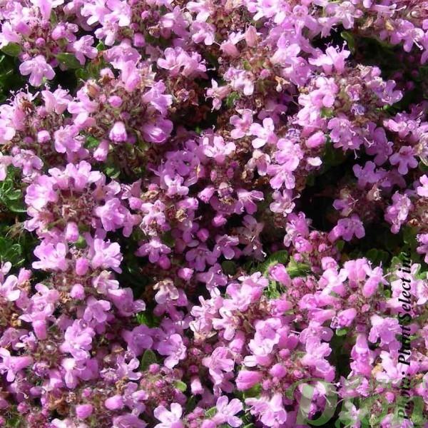 thymus-bressingham-pink.jpg
