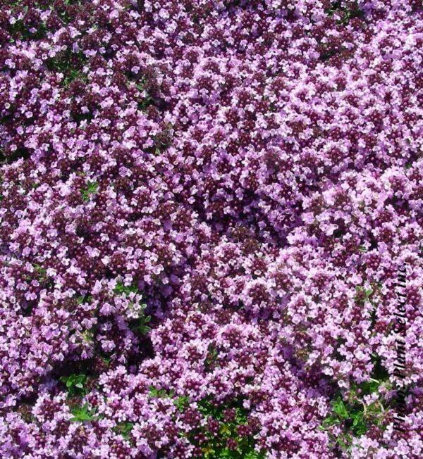 thymus-s.roseus.jpg