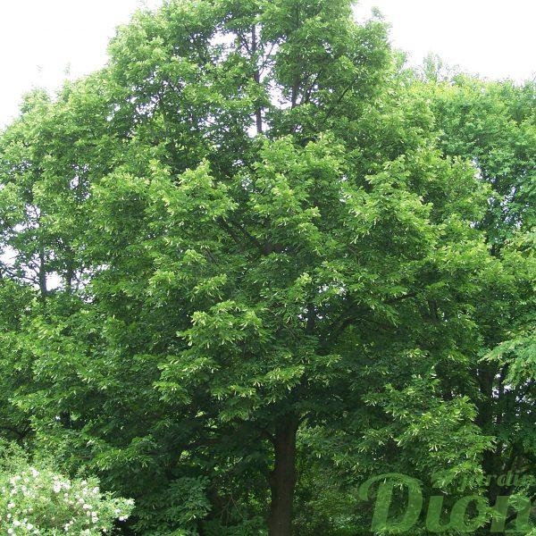Tilia americana 'Redmond'
