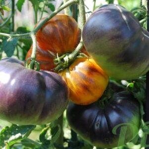 tomate-bleu.JPG