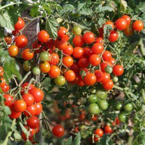 tomate-bonbon.jpg