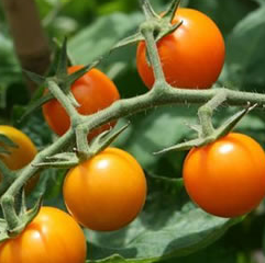tomate-cerise-sweet-gold.png