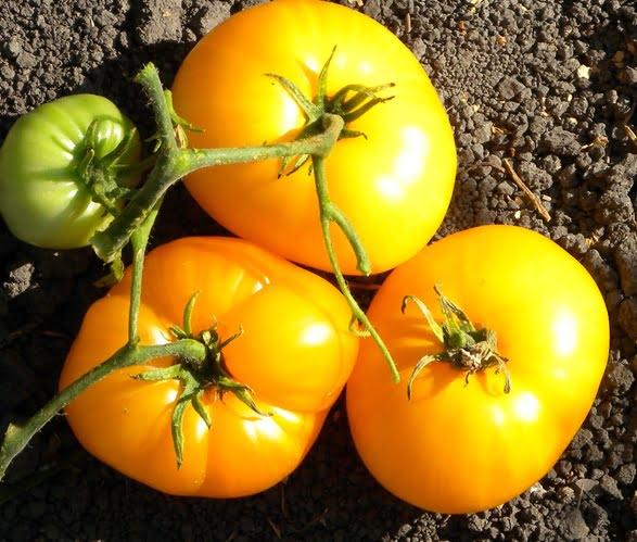 tomate-goldmine.jpg