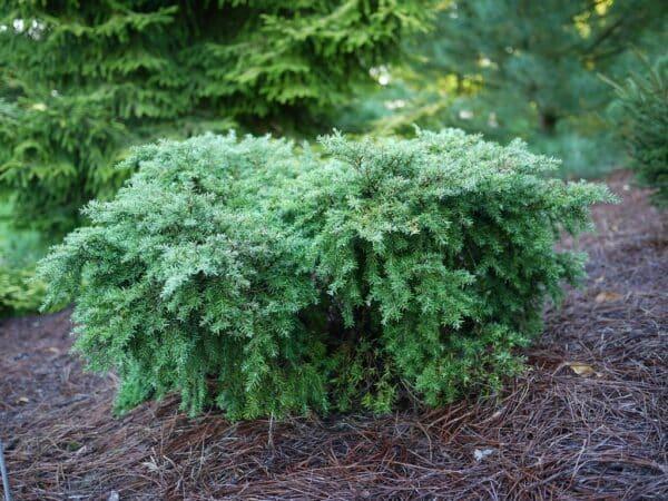 tsuga-canadensis-jeddeloh-dwarf-prunche-naine-petit-conifere-ombre-humide
