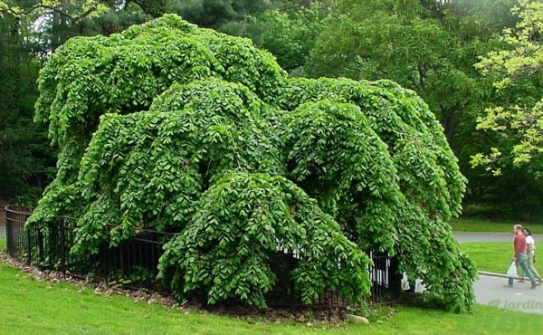 Ulmus glabra 'Camperdown'
