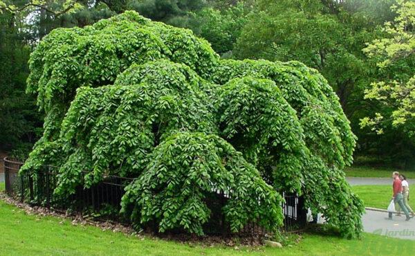 Ulmus glabra 'Camperdown'