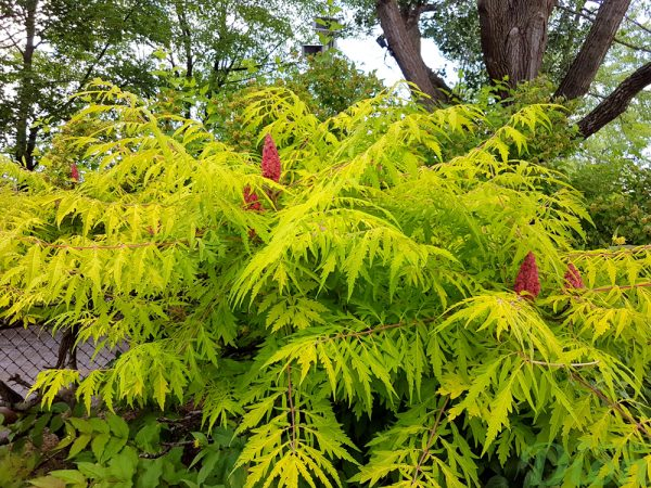 Rhus typhina 'Tiger eyes'