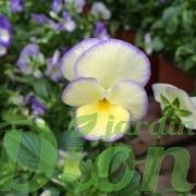 viola-etain-violette