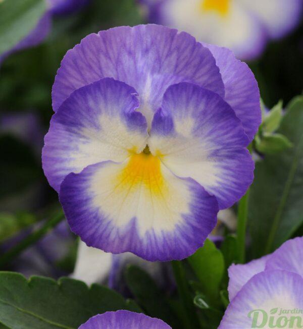 viola-halo-lilac.jpg