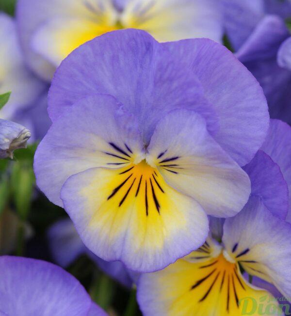 viola-halo-sky-blue.jpg