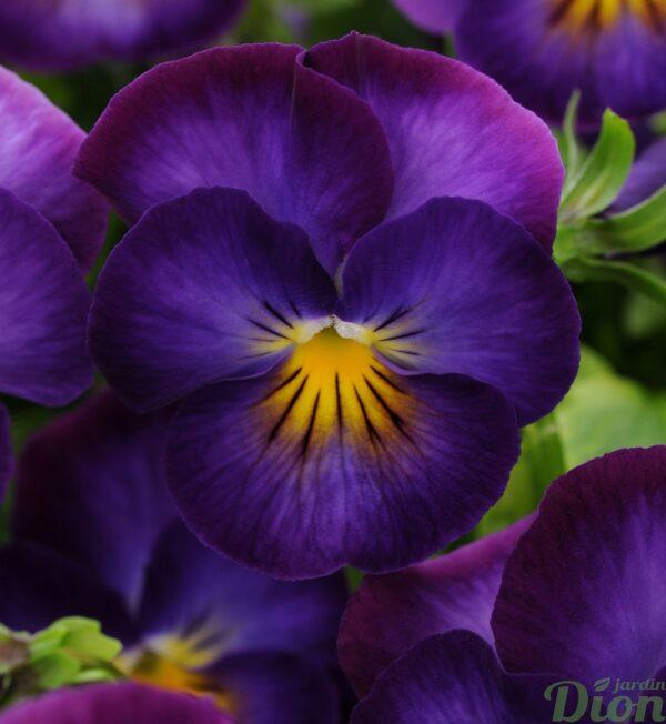 viola-halo-violet.jpg